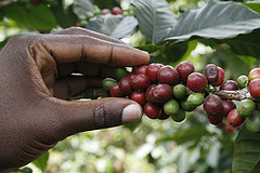 Hand holding coffee berries